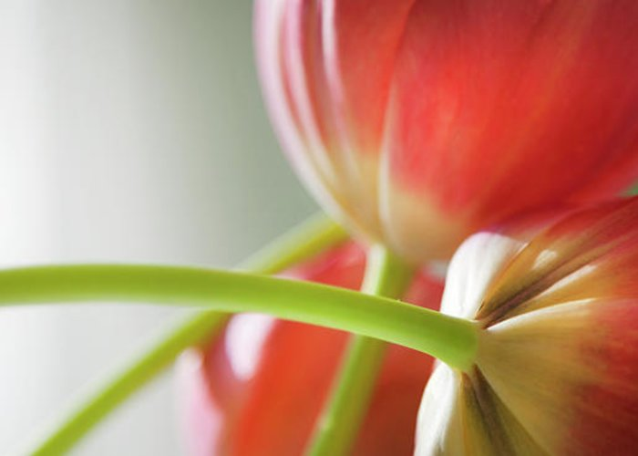 Floral Greeting Card featuring the photograph Tulips In The Morning by Theresa Tahara