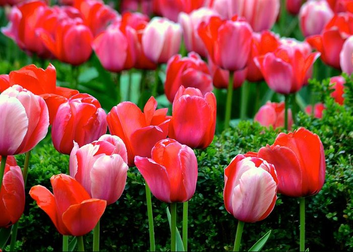 Tulips Greeting Card featuring the photograph Tulips by Jenny Spinelli