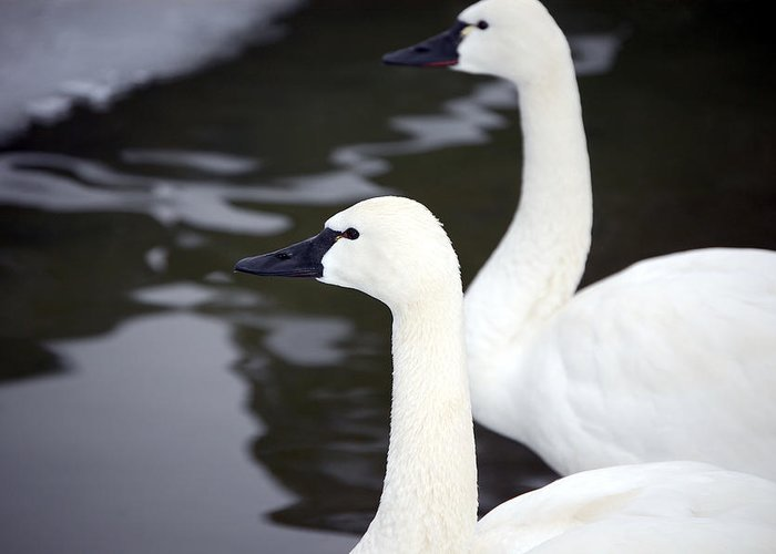 Swans Greeting Card featuring the photograph Tundra Swans by Lisa Kane