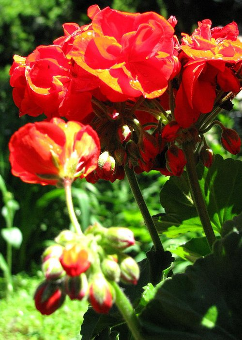 Geraniums Greeting Card featuring the photograph Turned Away by Belinda Consten