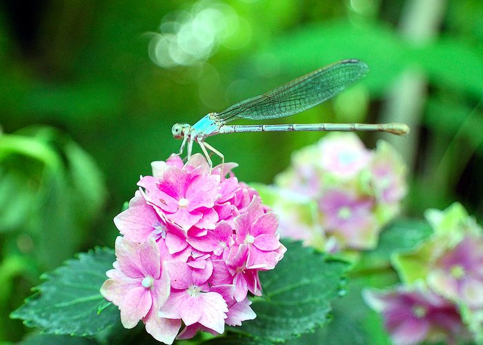 Dragonfly Greeting Card featuring the photograph Turquiose Dragonfly And Hydrangea by Heather S Huston