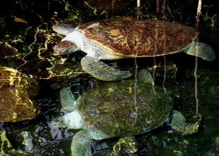 Turtle Greeting Card featuring the photograph Turtles by Angela Murray