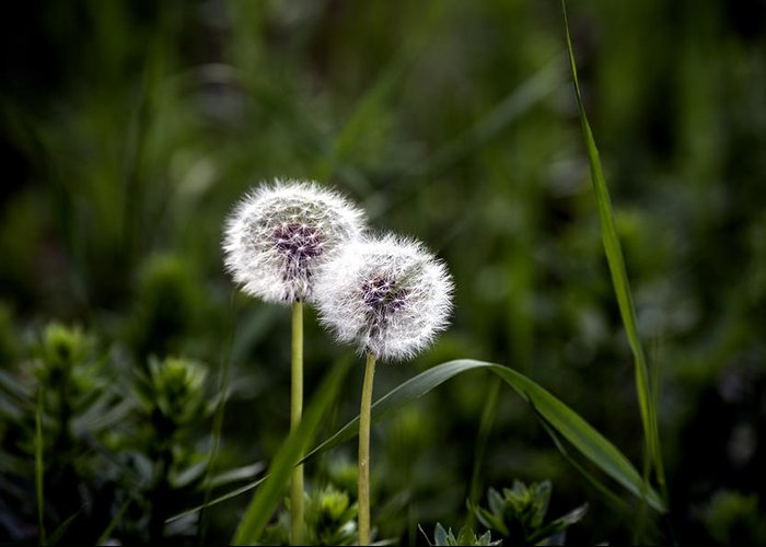 Abstract Greeting Card featuring the photograph Twin Dandelions by Adrian Bud