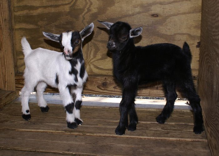 Baby Goat Twins Greeting Card featuring the photograph Twin Kids by Debbie May