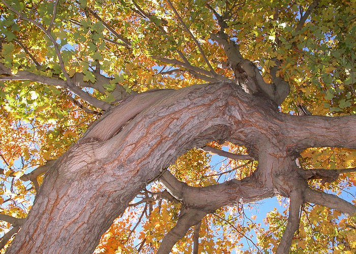 Landscapes/ Trees. Autumn Greeting Card featuring the photograph Twisted Tree by Nancy Barch