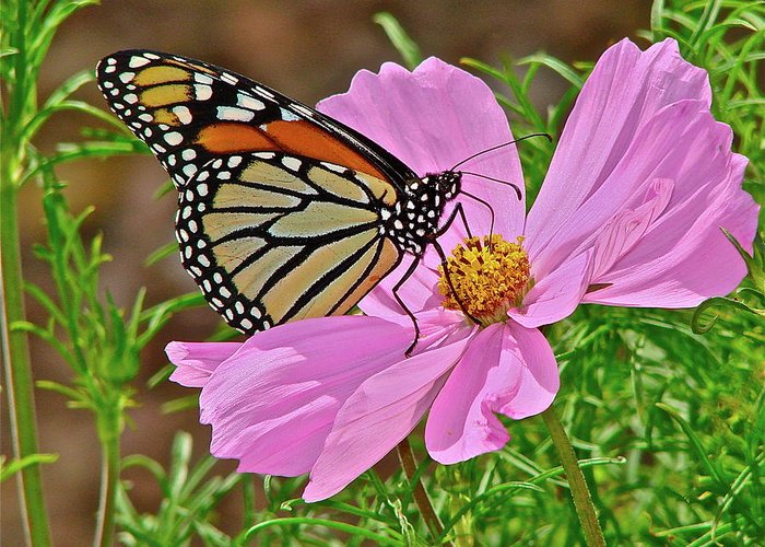 Butterfly Greeting Card featuring the photograph Two Beauties by Diana Hatcher
