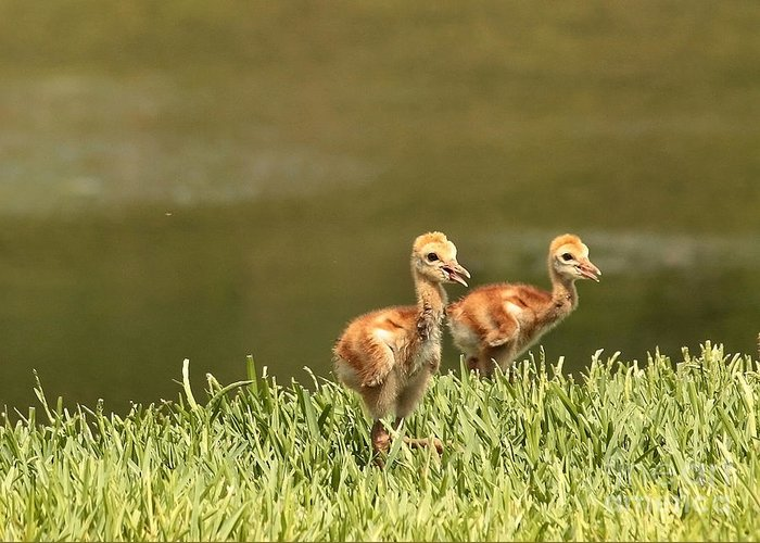 Sandhill Crane Chicks Greeting Card featuring the photograph Two Chicks by Carol Groenen