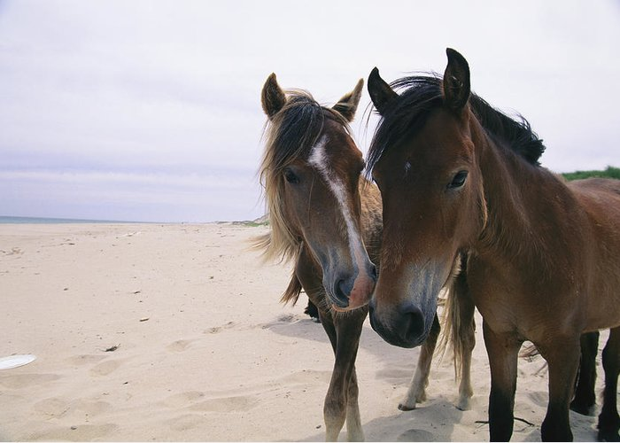 North America Greeting Card featuring the photograph Two Curious Wild Horses On The Beach by Nick Caloyianis