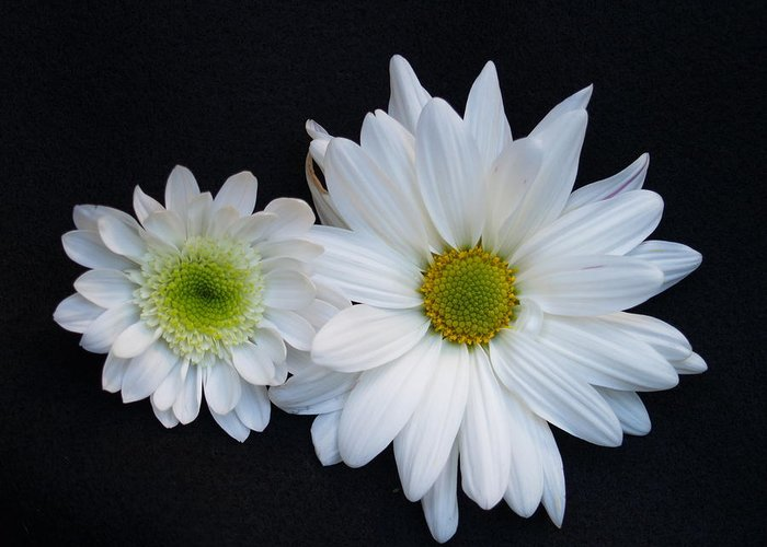 Daisies Greeting Card featuring the photograph Two Daisies by Richard Mansfield
