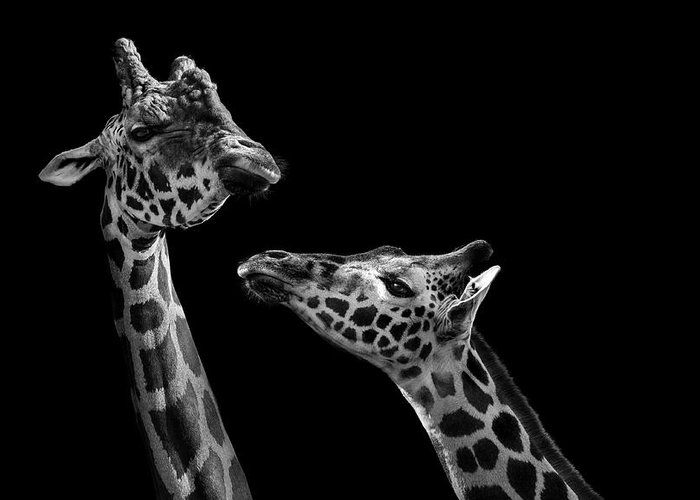 Giraffe Greeting Card featuring the photograph Two giraffes in black and white by Lukas Holas
