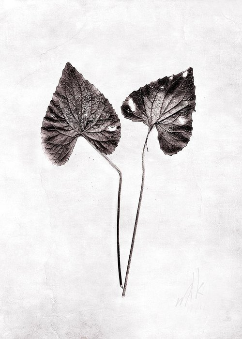 Violet Greeting Card featuring the photograph Two Little Violet Leaves by Louise Kumpf