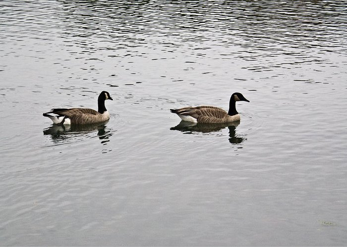 Arkansas Greeting Card featuring the photograph Two Lovely Canadian Geese by Douglas Barnett