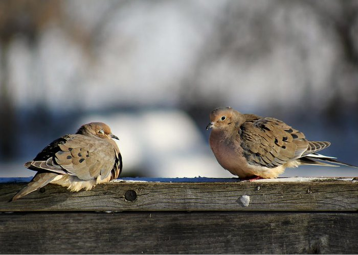 Birds Greeting Card featuring the photograph Two Mourning Doves by Denise Irving