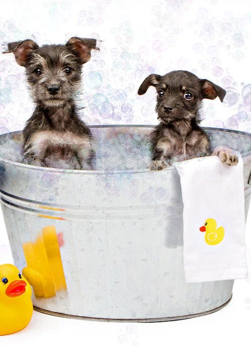 Dog Greeting Card featuring the photograph Two Scruffy Puppies In A Tub by Susan Schmitz