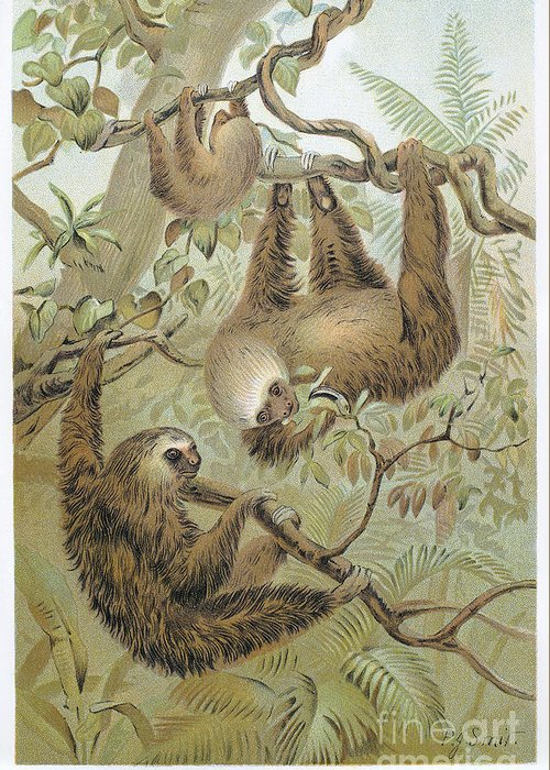 1904 Greeting Card featuring the photograph Two-toed Sloth by Granger
