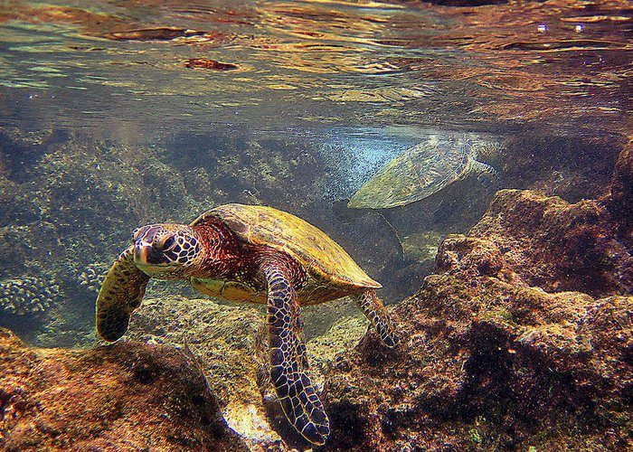 Hawaiian Sea Turtle Greeting Card featuring the photograph Two Turtles by Bette Phelan