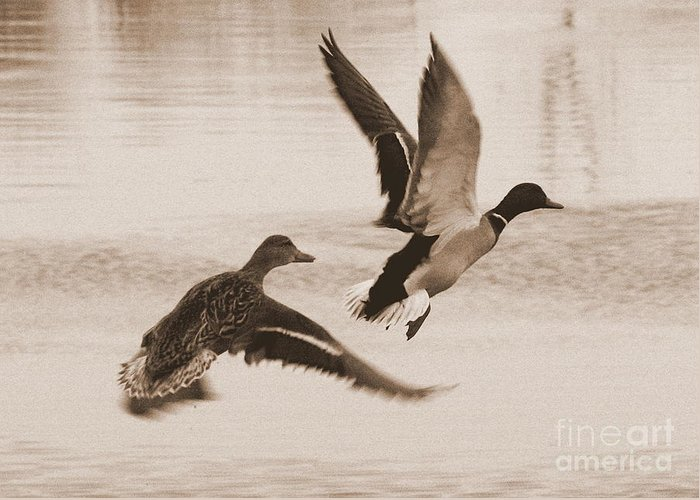 Two Ducks In Flight Photographs Greeting Cards