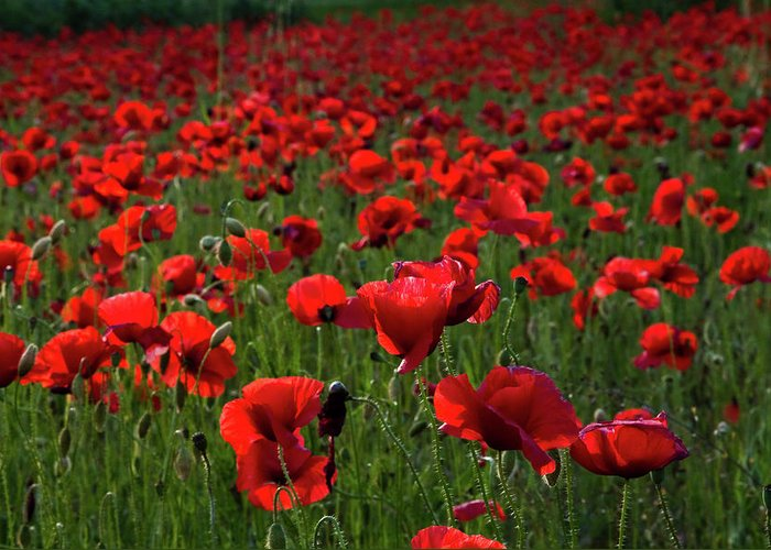 Umbria Greeting Card featuring the photograph Umbria Poppies 3 by Roger Mullenhour