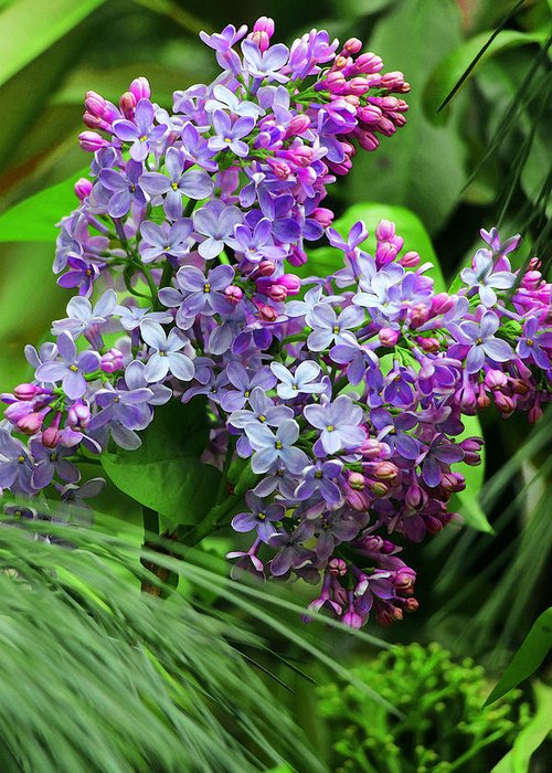Syringa Vulgaris Greeting Card featuring the photograph Unforgettable by Iryna Goodall