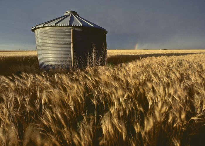Agriculture Greeting Card featuring the photograph United States, Kansas Wheat Field by Keenpress
