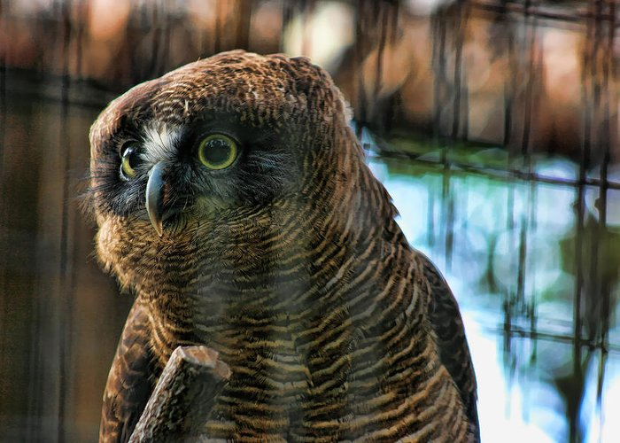 Rufous Owl Greeting Card featuring the photograph Unlawful Detention by Douglas Barnard