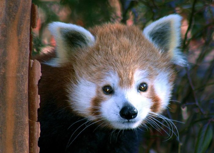 Red Panda Greeting Card featuring the photograph Unsuspicious by Mitch Cat