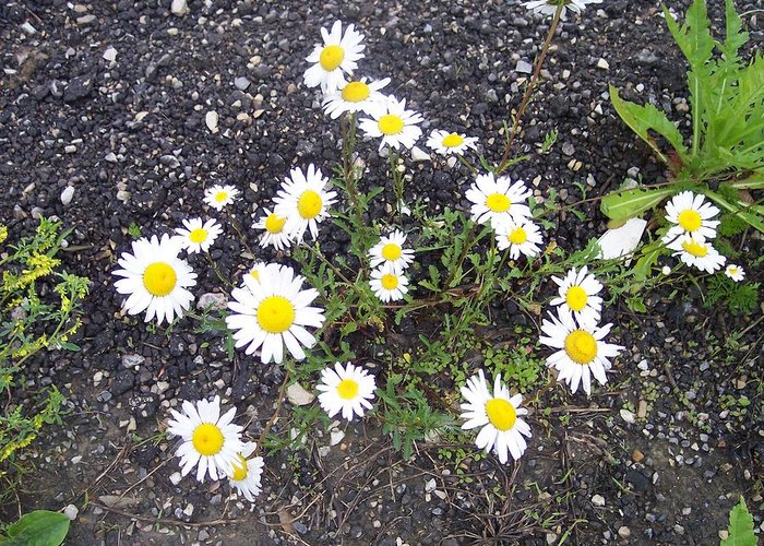 Daisy Nature Asphalt Flowers Greeting Card featuring the photograph Up From The Asphalt I by Anna Villarreal Garbis
