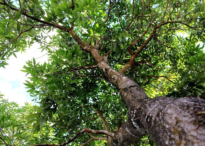 Mango Tree Greeting Card featuring the photograph Up The Tree by Mesa Teresita