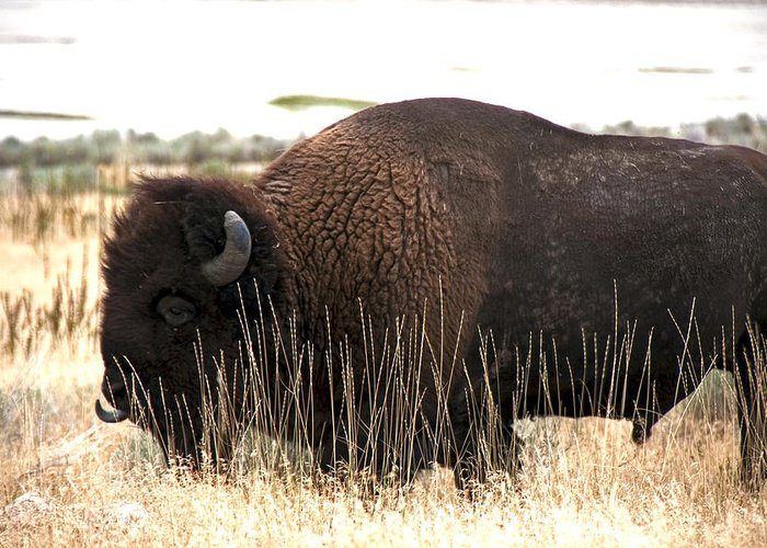 Bison Greeting Card featuring the photograph Utah Bison by Eric Nelson