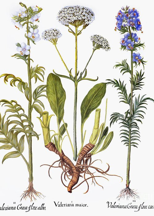 1613 Greeting Card featuring the photograph Valerian Flowers, 1613 by Granger