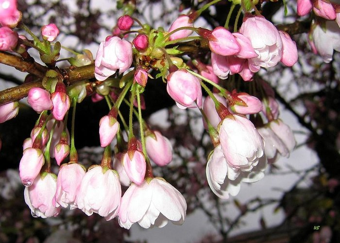 Cherry Blossoms Greeting Card featuring the photograph Vancouver Cherry Blossoms by Will Borden