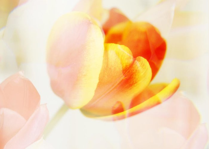 Surreal Greeting Card featuring the photograph Veiled Tulip by Marilyn Hunt