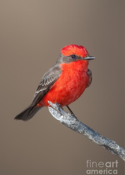 Clarence Holmes Greeting Card featuring the photograph Vermilion Flycatcher by Clarence Holmes
