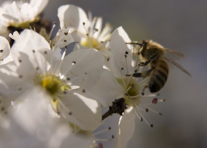 Bee Greeting Card featuring the photograph Vernal Equinox I by Margaret Denny