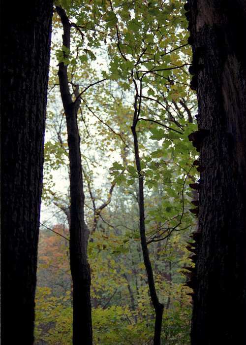 Tree Greeting Card featuring the photograph Vertical Limits by Randy Oberg