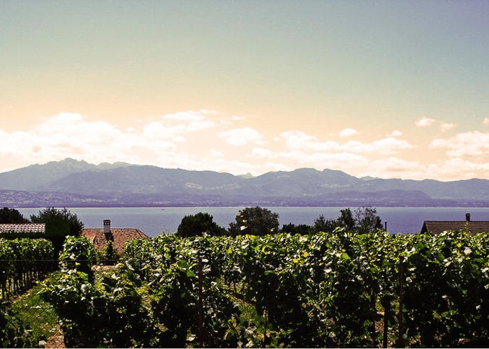 Lake Geneva Greeting Card featuring the photograph Vineyard On Lake Geneva by Jeff Barrett
