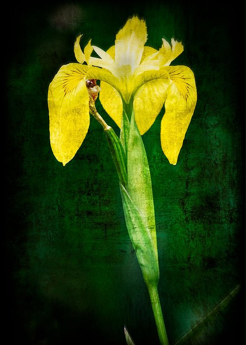 Vintage Greeting Card featuring the photograph Vintage Canna Lily by Rich Leighton