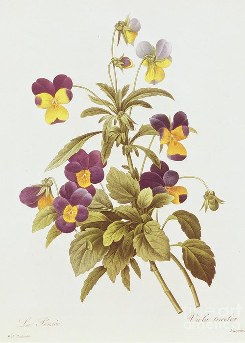 Viola Greeting Card featuring the drawing Viola Tricolour by Pierre Joseph Redoute