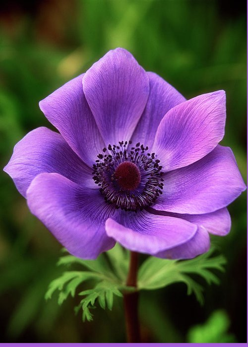 Flower Greeting Card featuring the photograph Violet Anemone by Jim Benest