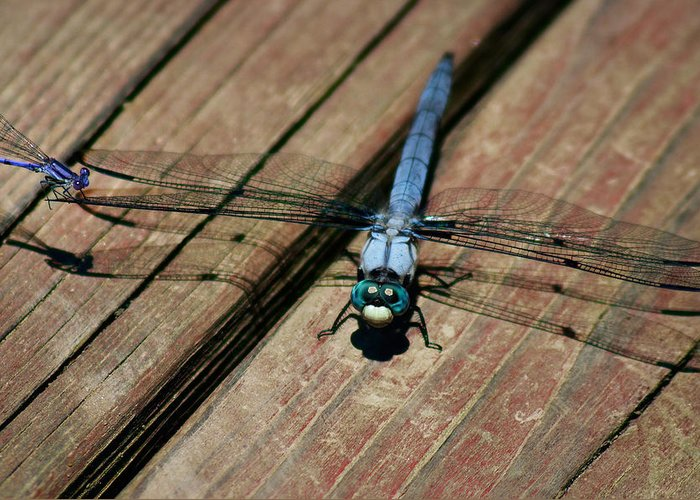 Dragonfly Greeting Card featuring the photograph Violet Dancer On A Great Blue Skimmer by Susan Isakson