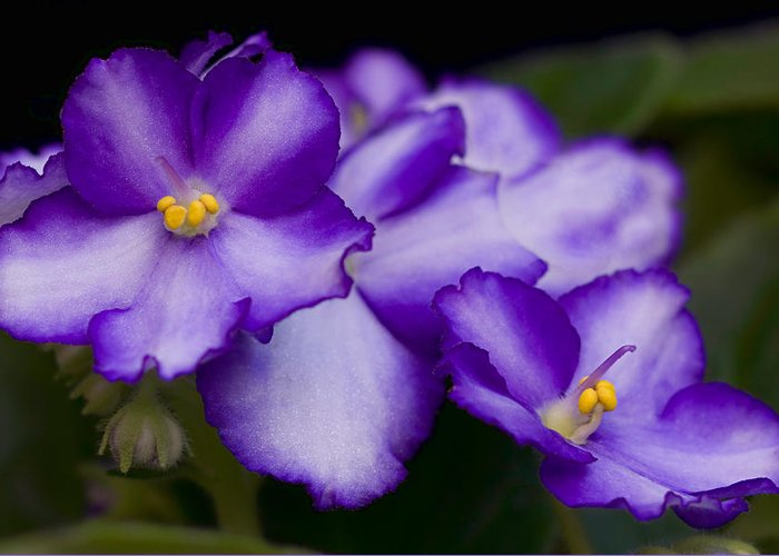 Violet Greeting Card featuring the photograph Violet Dreams by William Jobes