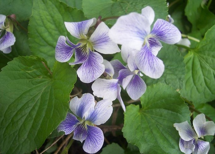Flowers Garden Violets White Purple Green Greeting Card featuring the photograph Violets 2 by Anna Villarreal Garbis