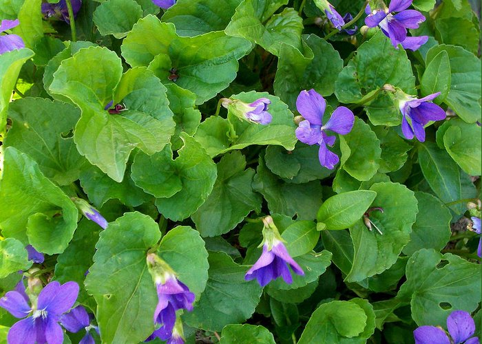 Violet Greeting Card featuring the photograph Violets by Marina Owens