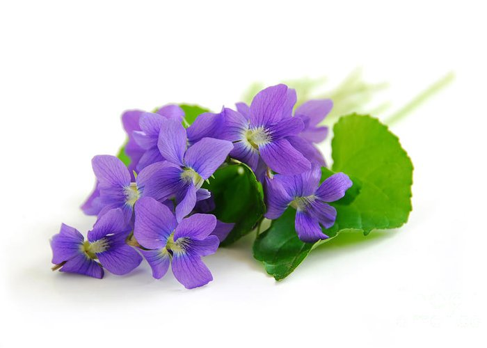 Violet Greeting Card featuring the photograph Violets On White Background by Elena Elisseeva