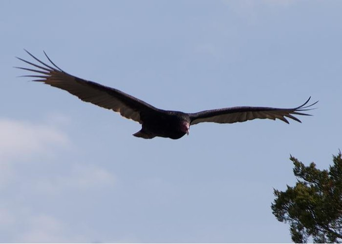 Vulture Greeting Card featuring the photograph Vulture by Toni Berry