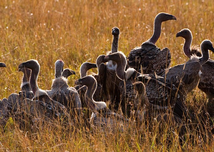 Masai Mara Greeting Card featuring the photograph Vultures by Paco Feria
