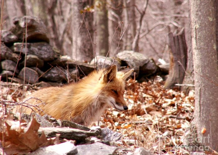 Fox Greeting Card featuring the photograph Waiting Fox by Randy Ricketts