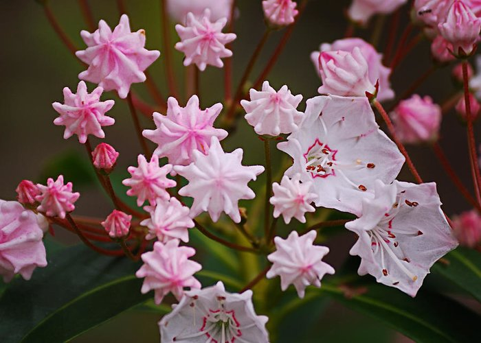 Mountain Laurel Greeting Card featuring the photograph Waiting To Burst by Randy Bodkins