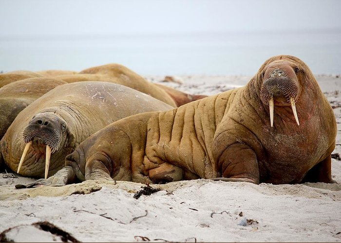 Walruses Greeting Cards