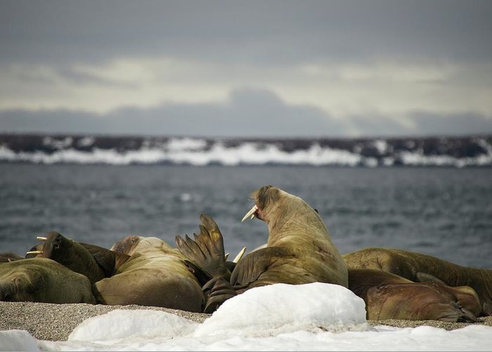 Arctic Greeting Card featuring the photograph Walruses With Giant Tusks At Arctic Haul-out by Ndp